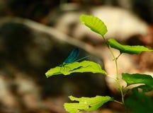 Die blaue Libelle Lizenzfreies Stockbild