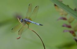 Die blaue Libelle Lizenzfreie Stockbilder