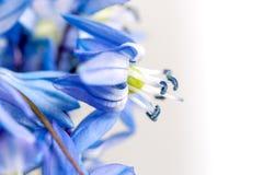 Die blauen Blumen des ersten Frühlinges auf einem hellen Hintergrund Lizenzfreies Stockbild