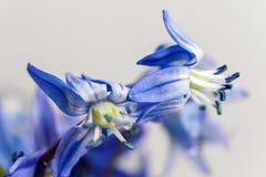 Die blauen Blumen des ersten Frühlinges auf einem hellen Hintergrund Stockbilder