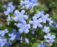 Die blauen Blumen von Brunnera Stockfotografie