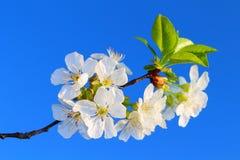Die Blume der Kirsche Stockfotos