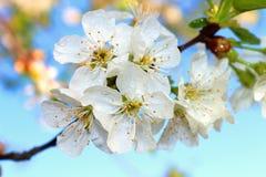 Die Blume der Kirsche Stockfotografie