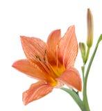Die Blume der Lilie ist auf einem weißen Hintergrund gelb Stockfotografie