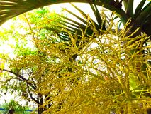 Die Blume der Palme auf der Palme Lizenzfreies Stockfoto