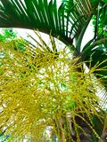 Die Blume der Palme auf der Palme Stockfotos