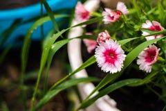 Die Blume der Winde wird mit Tröpfchen, nach dem Frühlingsregen bedeckt Stockfoto