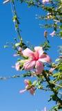 Die Blume des chinesischen Rosenabschlusses oben Stockfotos