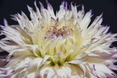 Die Blume des Dahlienabschlusses oben Lizenzfreie Stockbilder