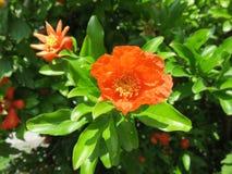 Die Blume des Granatapfels Lizenzfreie Stockfotos