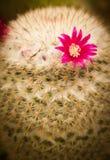Die Blume des Kaktus Stockfotografie