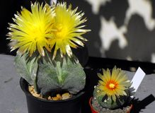 Die Blume des Kaktus Stockfoto