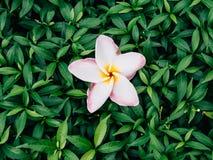 Die Blume des Tempelbaums oder des Frangipani- oder Pagodenbaums (wissenschaftlicher Name: Plumeria spp) Stockbilder