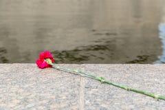 Die Blume einer Gartennelke liegt auf einem Stein Lizenzfreies Stockfoto