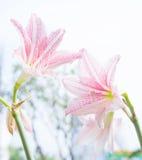Die Blume Hippeastrum sieht wie ein Lilienweiß mit rosa Streifen aus pl Stockfotografie