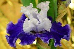 Die Blume Iris Stockbild