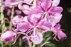 Die Blume ist Fireweed Lizenzfreies Stockfoto