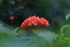 Die Blume ist die Orange, die wie eine Haube halbkreisf?rmig ist stockfoto