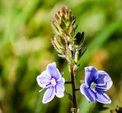 Die Blume kündigt das Kommen des Frühlinges an lizenzfreie stockfotos
