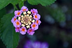 Die Blume mit Namen Dubrovnik Stockfotos