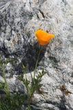 Die Blume und der Felsen Stockbilder