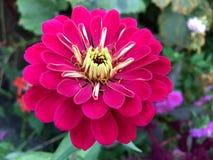 Die Blume von Zinnia ist hochrot stockbild