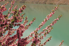 Die Blumen auf dem Ufer von Iskanderkul See, Tadschikistan lizenzfreie stockfotos