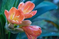 Die Blumen auf Succulent stockbild