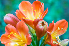 Die Blumen auf Succulent lizenzfreies stockbild