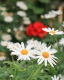 Die Blumen der Gartenkamille Lizenzfreies Stockfoto