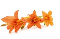 Die Blumen der Lilie ist gelb Lizenzfreie Stockfotos