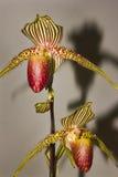 Die Blumen der Paphiopedilumorchidee Lizenzfreie Stockfotos