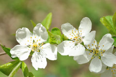 Die Blumen des Kirschbaums in der hohen Leuchte Lizenzfreies Stockfoto