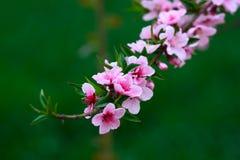 Die Blumen des Pfirsiches Stockbild