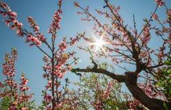 Die Blumen des Pfirsiches Lizenzfreie Stockfotografie