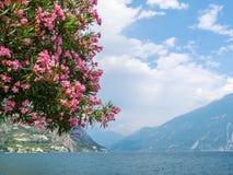 Die Blumen eines Neriumoleanderbaums vor See Garda Stockfotografie