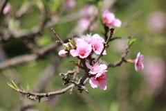 die Blumen eines Pfirsichbaums lizenzfreies stockbild