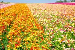 Die Blumen-Felder von Carlsbad stockfotografie