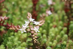 Die Blumen im Garten Vegetationslavendel Stockbilder