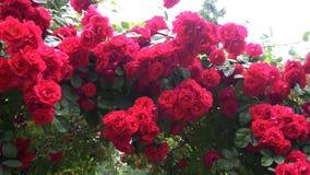 Die Blumen sind die wilden Rosen, die in Form eines Bogens wachsen stock video footage