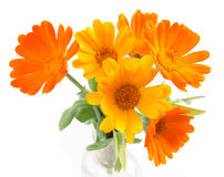Die Blumen von Calendula Lizenzfreies Stockbild