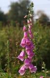Die Blumen von Fireweed Stockfoto