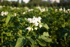 Die Blumen von Kartoffeln Stockfoto
