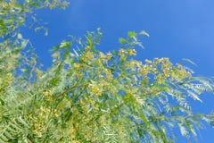 Die Blumen von Schinus Molle Stockbilder
