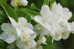 Die Blumenblumenblätter der weißen Blume des hintergrundes, die durch Wasser bedeckt werden, fällt achtern Stockfotos