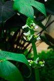 Die Blumenknospe ist eine Blume, die keinen Geruch hat stockfoto
