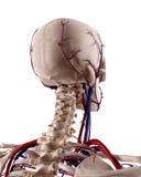 Die Blutgefäße des Kopfes Stockfotografie