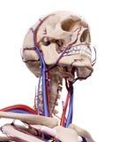 Die Blutgefäße des Kopfes Lizenzfreies Stockfoto