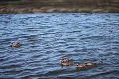 Die braune Entenfamilie Stockfoto