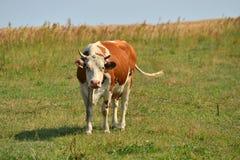 Die braune Kuh lizenzfreie stockfotografie